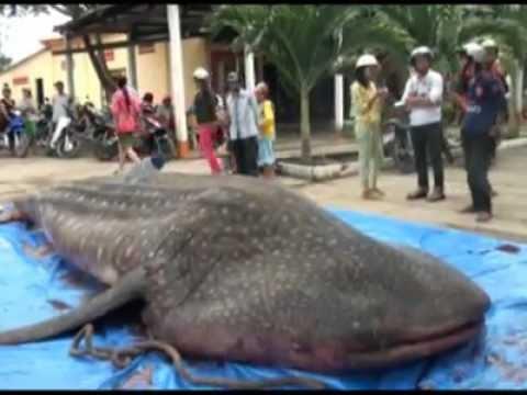 4 ton whale caught in Vietnam - Bắt được cá voi 4 tấn ở Việt Nam