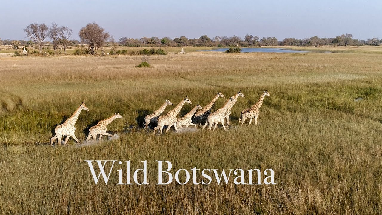 Best Drone Video of African Wildlife. Wild Botswana  4K