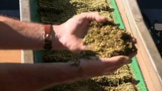 Producing Rooibos at Carmien Rooibos Farm in Citrusdal