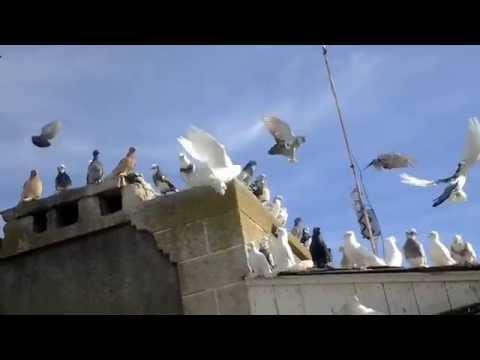 Голуби, их болезни и лечение. Болезни голубей, опасные для