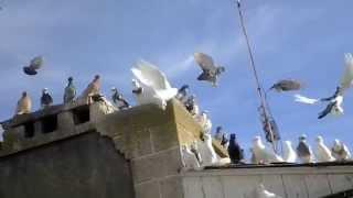 Агасиевские голуби.Голуби Валерия Герасименко. Игра бойных голубей.