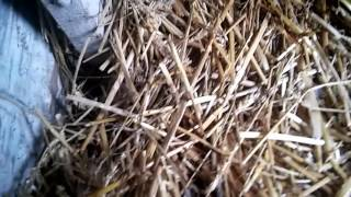 Kury i kaczki ozdobne: Kurczęta i Podsumowanie lęgu