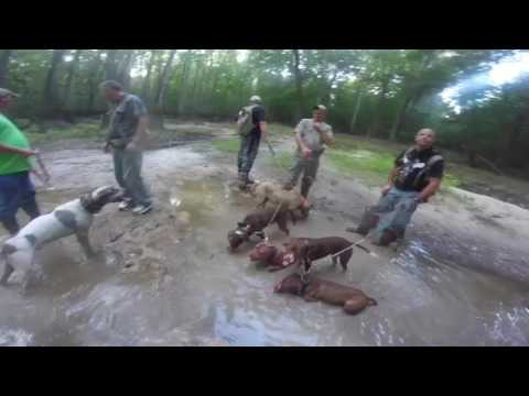 Hog Hunting With Dogs and Knife (10)