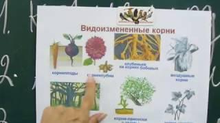 Урок биологии. Видоизменение корней. ЗНО!