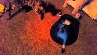 Popup Kitten