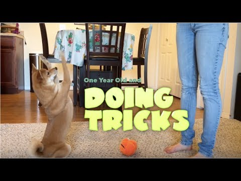 A Shiba Inu - 1 Year Old and Doing Tricks