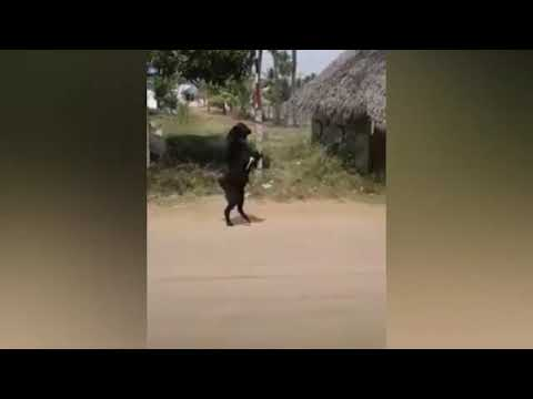 WTF Bipedal Goat walking around in India !