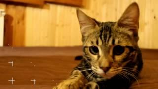 Kitten Munchkin Bengal. Котенок Манчкин