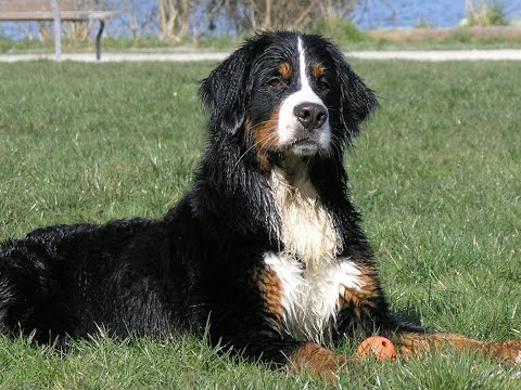 Bernese Mountain Dog History, Personality, Health, Care
