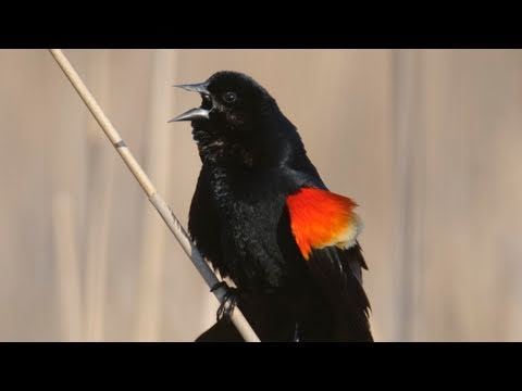 How Nature Works: Red-winged Blackbird Display