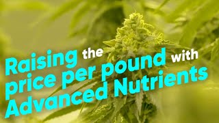 How to Increase Indoor Cannabis Yields with Advanced Nutrients - Hydroboys Grow