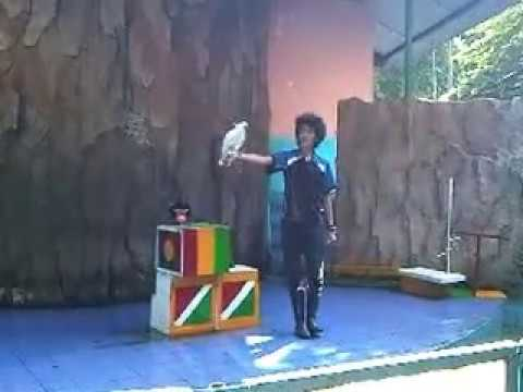 Video Hewan Lucu Atraksi satwa Burung Kakatua