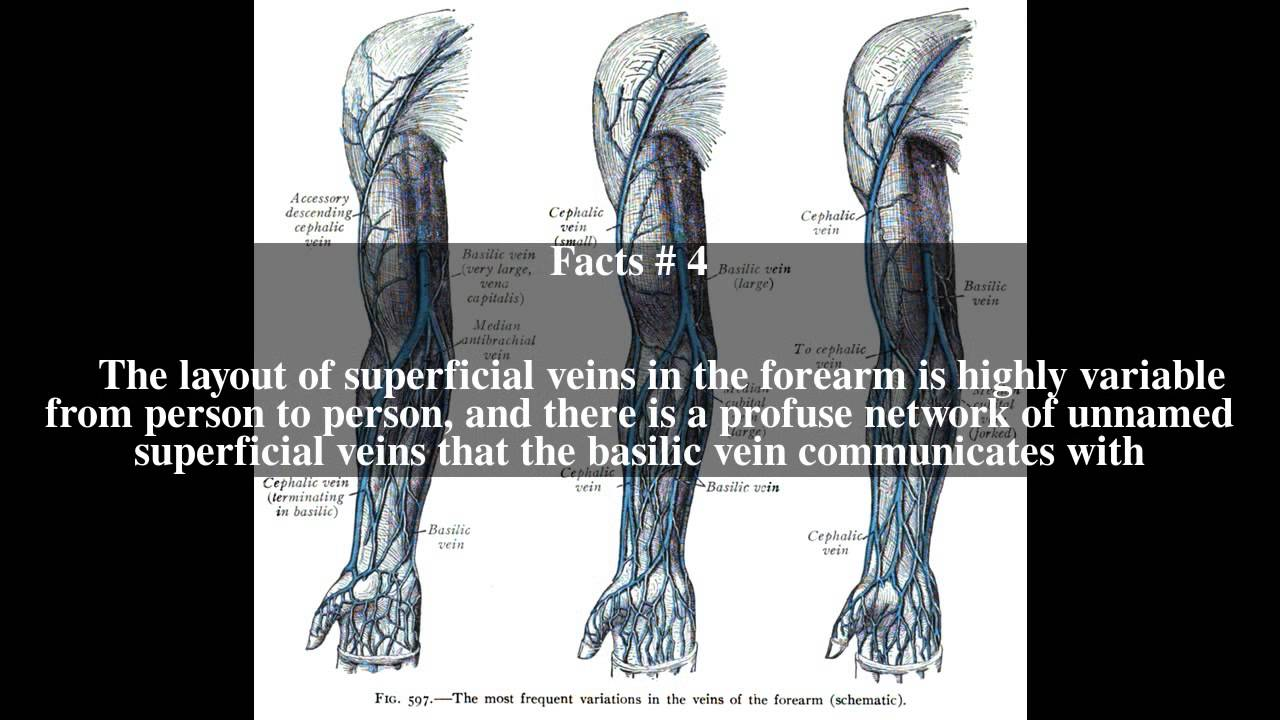 Basilic vein Top # 8 Facts - YouTube