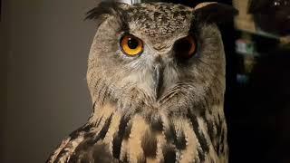 Филин Ёль. Три самых главных буквы совы