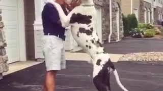 Dünyanin en uzun köpekleri danua'lar