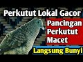 Perkutut Lokal Gacor Pancingan Perkutut Macet Suara Burung Perkutut Lokal  Mp3 - Mp4 Download