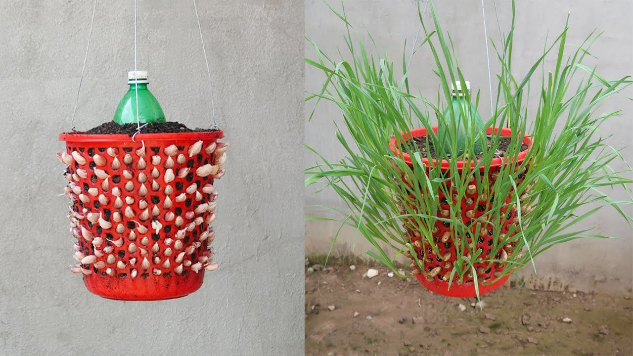 Tips for growing garlic quickly with many roots in Plastic Wastebasket