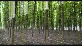 12 year old tissue culture teak plantation