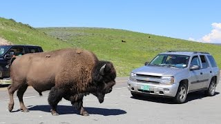 【YELLOWSTONE】Close encounters with WILD LIFE