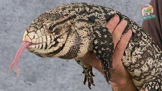 Reptil TV - Folge 81 - Teju Basics
