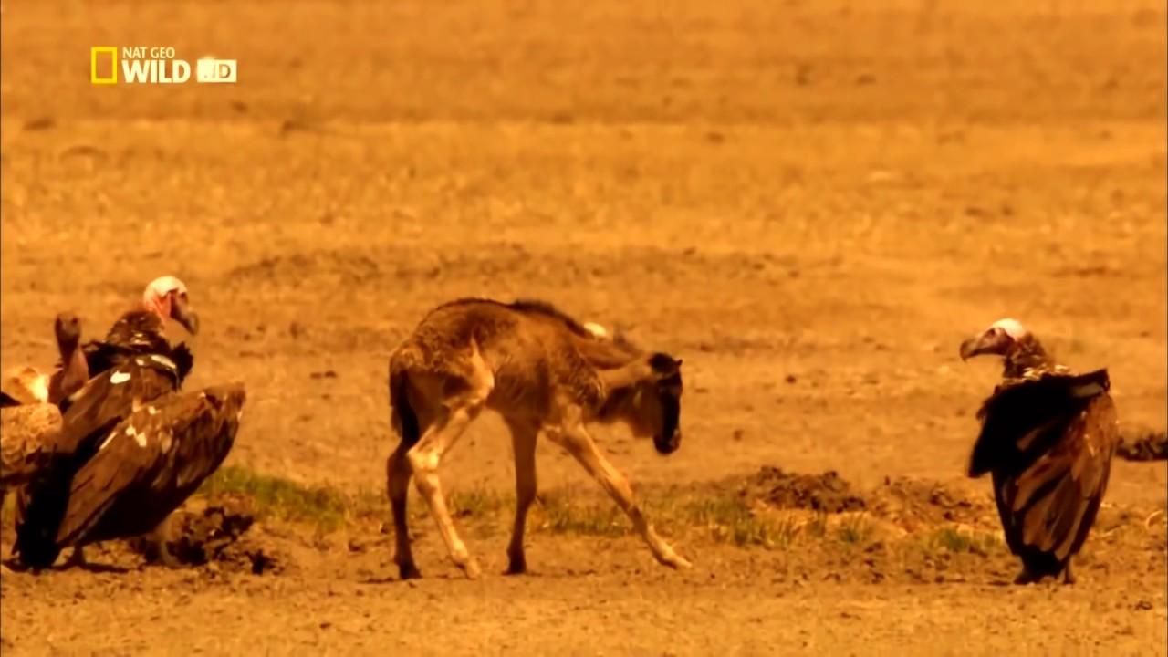 Мир животных  Дикая Африка  Серенгети  Документальный фильм National Geographic