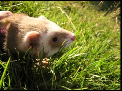 Ferret Facts - Facts About Ferrets