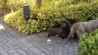 Cairn Terrier Pups 19 5 14