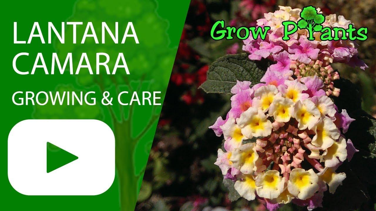 Lantana Camara Growing Care Youtube