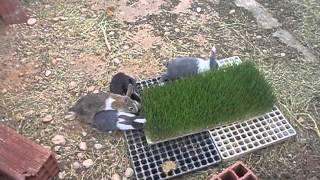 Chambre rkiwa/ les lapins mangent l'orge hydroponique