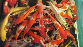Thả Cá Hồ Koi 10 khối Cực Đẹp-Drop Koi Aquarium Fish 10 Very Beautiful Blocks