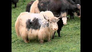 Могут ли кавказцы приручить любое животное - Такие странные
