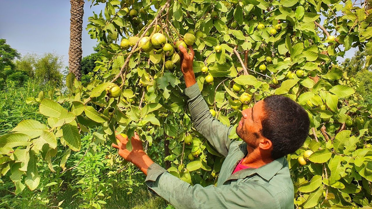 Beauty Of Pak | Guava Tasty Fruits In Punjab | Pakistan Village Life