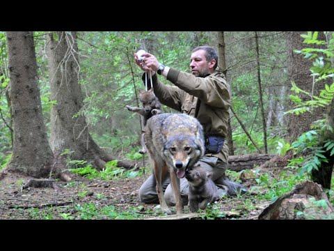 أنقذ هذا الرجل أنثى الذئب وصغارها , وبعد 4 سنوات التقيا وكانت المفاجأة  - نشر قبل 5 ساعة