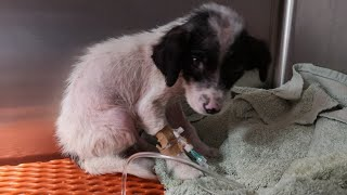 Angel's rescue story. A puppy  found sick and scared next to his dead brother.