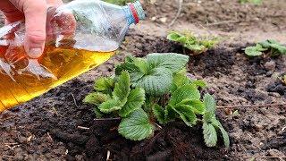 Срочно дайте вашей клубнике йод! Урожай будет супер! Как подкормить клубнику весной йодом?