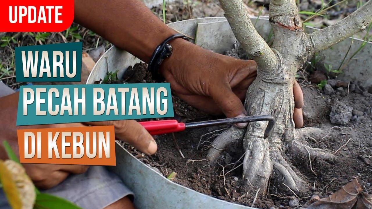 Update! Bahan Bonsai Waru India Pecah Batang Di Kebun Ground Belajar Bonsai