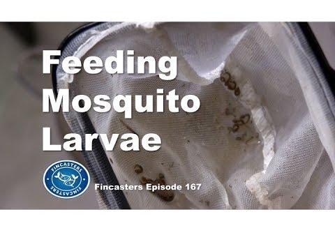 Feeding Mosquito Larvae To Fish  Fincasters Episode 167