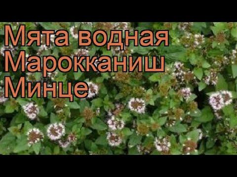 Мята водная Марокканиш Минце (mentha aquatica) 🌿 обзор: как сажать, рассада мяты Марокканиш Минце
