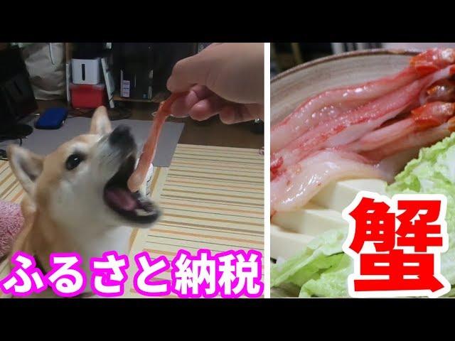 柴犬小春 【飼い主呆然】カニは殻ごと頂く!稚内ふるさと納税