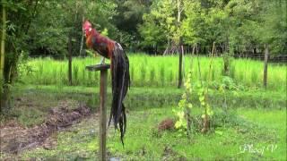 Phoenix Rooster - Bath Sun Dry