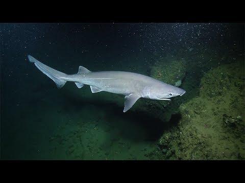 Sleek Sixgill Shark Spotted Again Nautilus Live