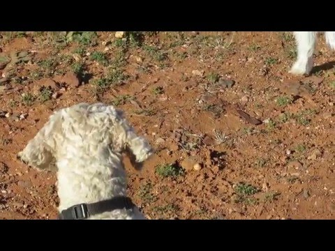 Archie Dog Spoodle & the Emu in Broken Hill - 1st encounter