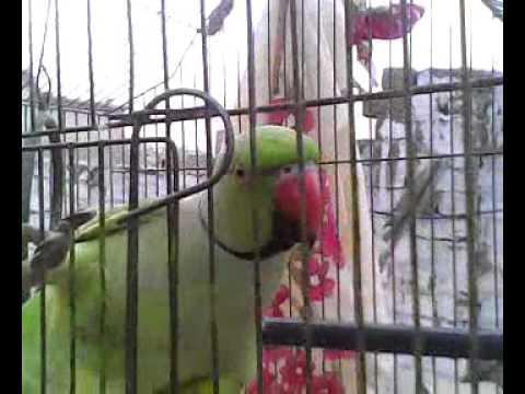 sindhi parrot sindhi ....list_4__0008.mp4