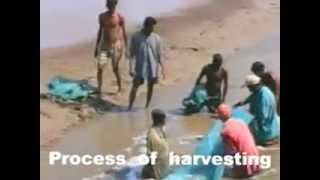 manoj sharma shrimp farming surat