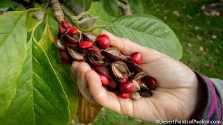 Harvesting Magnolia Tree Seeds