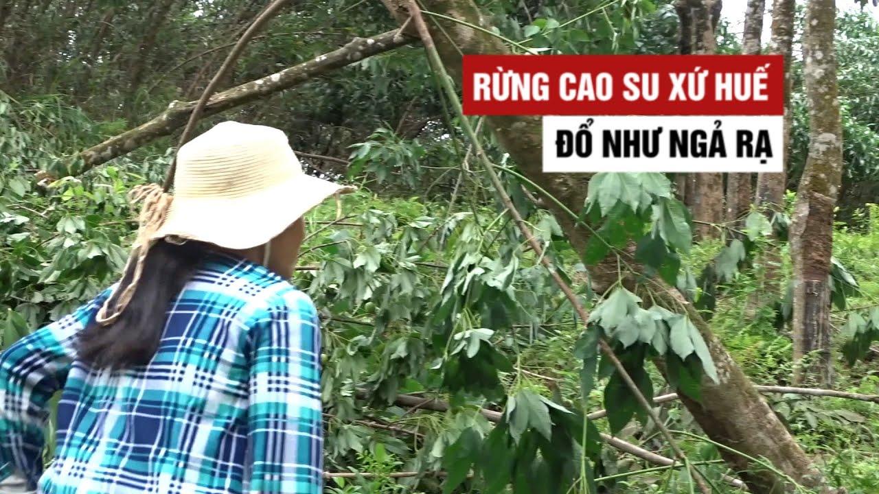 Đau xót rừng cao su xứ Huế đổ như ngả rạ sau 20 phút bão càn