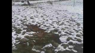 Yellow Labrador Retriever Sonny Playing Fetch