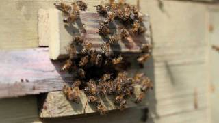 Пчелы на прилетке 5 (слайд-шоу)