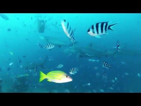 Fiji beqa Bull Shark Dive 2016