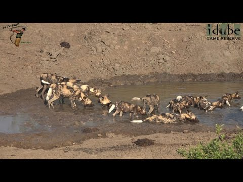 Beautiful Painted Wolves Of Africa Feeding And Cooling Off